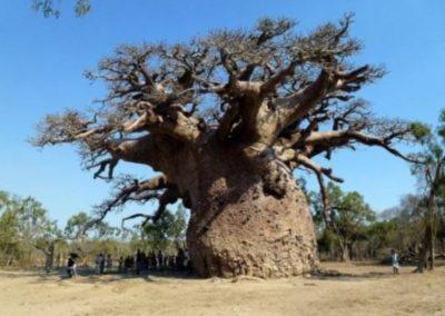 madagacar-tree